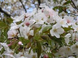 110416_ちょっと葉桜.jpg