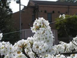 110416_梨の花.jpg