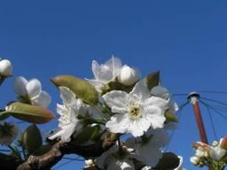 110417_梨の花.jpg