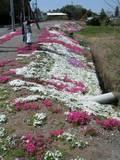 110417_芝桜.jpg