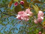 110424_八重桜1.jpg