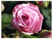 111114_大町公園のバラ.jpg