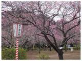 120303_袖ヶ浦公園梅園.jpg
