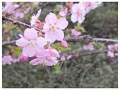 120331_河津桜.jpg