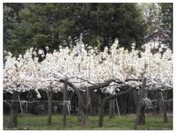 120422_梨の木.jpg