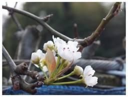 12044153_梨の花.jpg