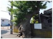 120512_サイカチの木.jpg
