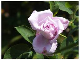 120519_Rose.jpg