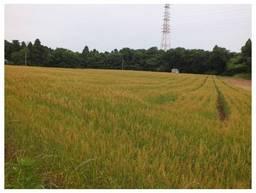 120526_酒々井の麦畑.jpg