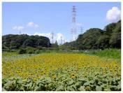 120819_ひまわり.jpg