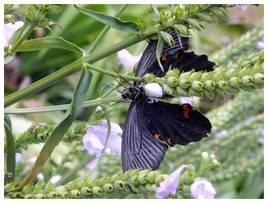 120826_囚われの蝶.jpg
