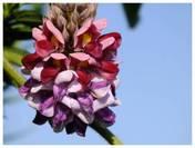 120912_葛の花.jpg