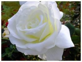 120922_白いバラ.jpg