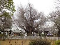 130310_千葉寺の公孫樹.jpg
