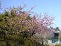 130316_観音寺の桜.jpg