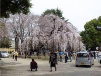 130320_伏姫桜.jpg