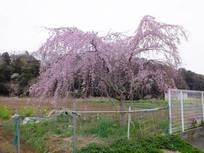 130320_枝垂桜.jpg