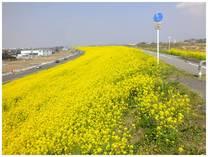 130323_利根川の菜の花.jpg