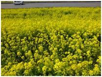 130323_利根川の菜の花2.jpg