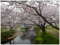 130330_今井の桜.jpg