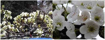 130330_梨の花.jpg
