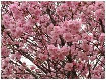130331_桜.jpg