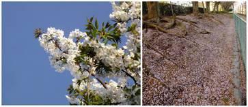 130406_並木の桜.jpg
