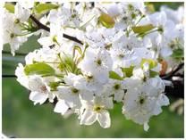 130414_梨の花.jpg