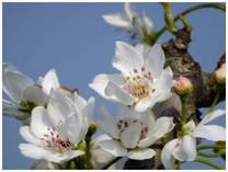 130415_梨の花.jpg