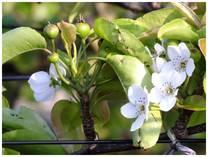 130506_梨の花.jpg