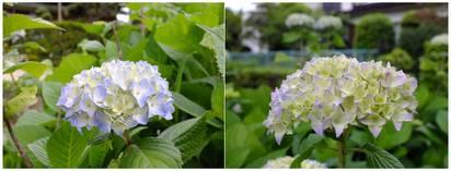 130525_紫陽花.jpg