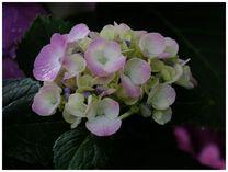 130622_紫陽花1.jpg