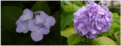 130629_紫陽花.jpg