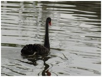130825_黒鳥2.jpg