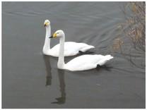 131127_Swan.jpg