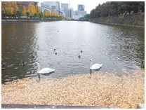 131128_お堀の白鳥.jpg