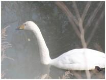 131207_Swan1.jpg