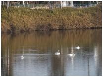131207_Swan4.jpg