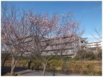 131208_冬の桜.jpg