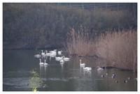 140203_Swan1.jpg