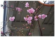 140301_河津桜.jpg