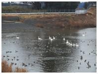 140302_Swan.jpg