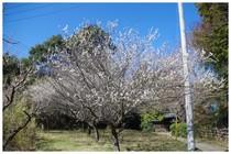 140316_梅の花.jpg
