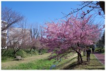 140322_黒目川と桜.jpg