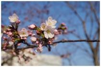 140328_松戸神社の桜.jpg
