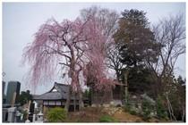 140329_薬王院の枝垂桜_墓地.jpg