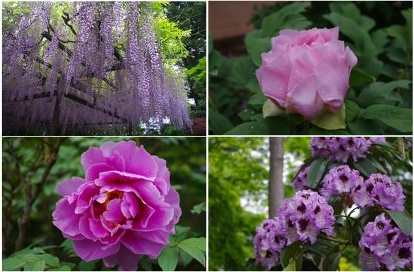 140506_観音寺の花.jpg