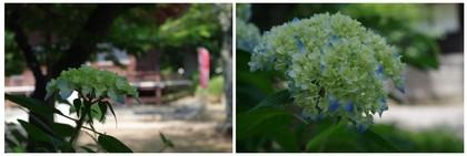 140531_紫陽花.jpg
