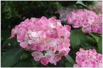 140621_円徳寺の紫陽花.jpg
