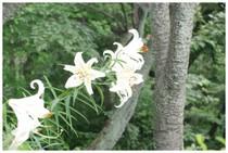 140621_衣笠山百合の花.jpg